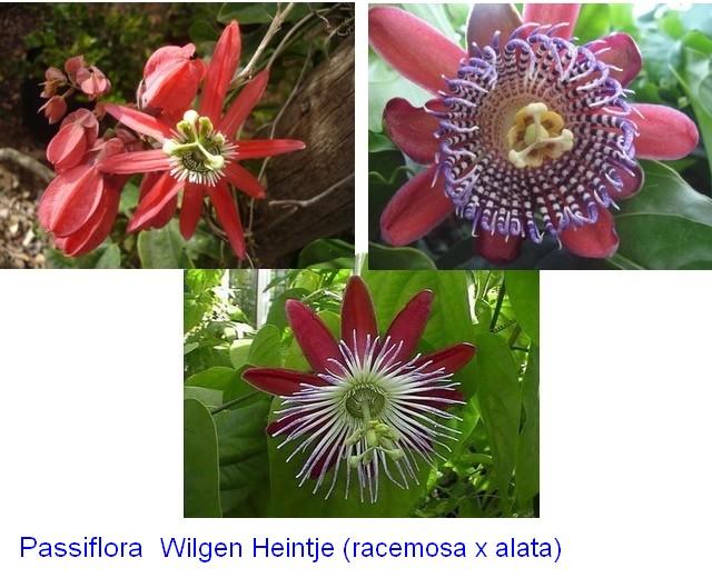 Comment agrandir sa collection de passiflora Hybrid10