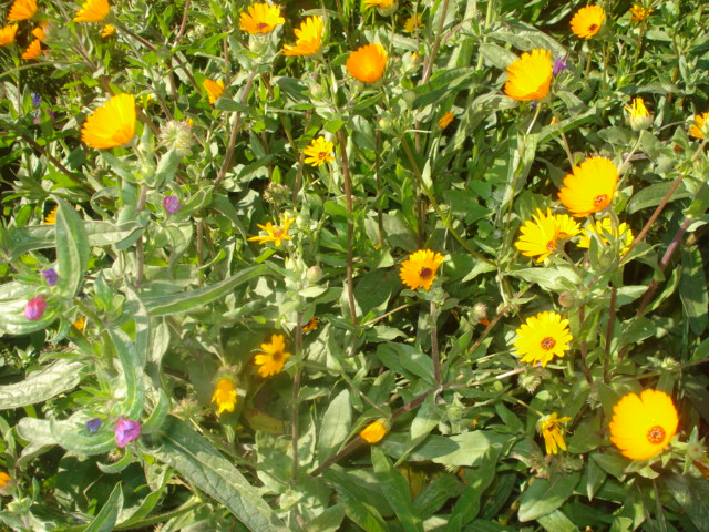 Jardin de Tropicana : Maroc /Casablanca - Page 2 Jaune10