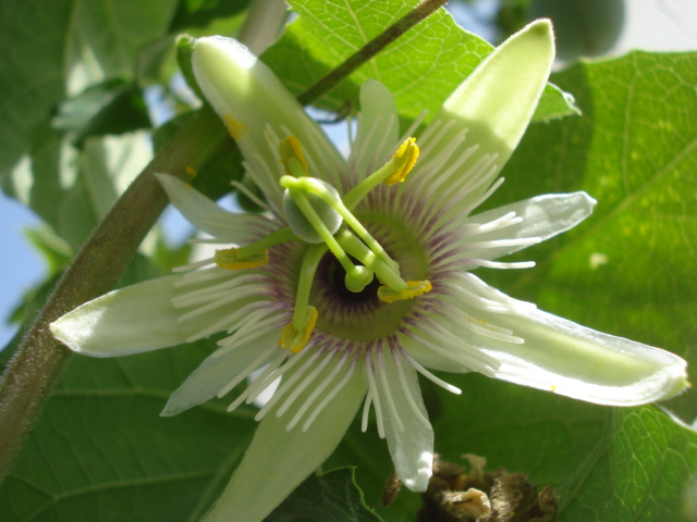 "Notre collection ""passiflora"" - Page 9 Morifo10"
