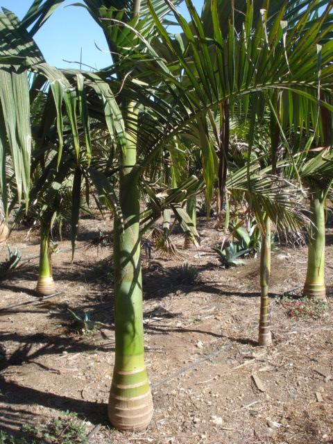 Bananiers et palmiers à identifier SVP Palmie24