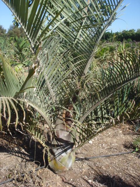 Bananiers et palmiers à identifier SVP Palmie26