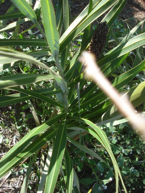 Bananiers et palmiers à identifier SVP Palmie27