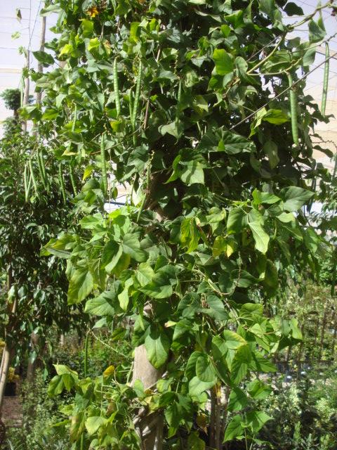 Bananiers et palmiers à identifier SVP Phaseo10