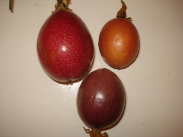 Comment agrandir sa collection de passiflora Rejeto11