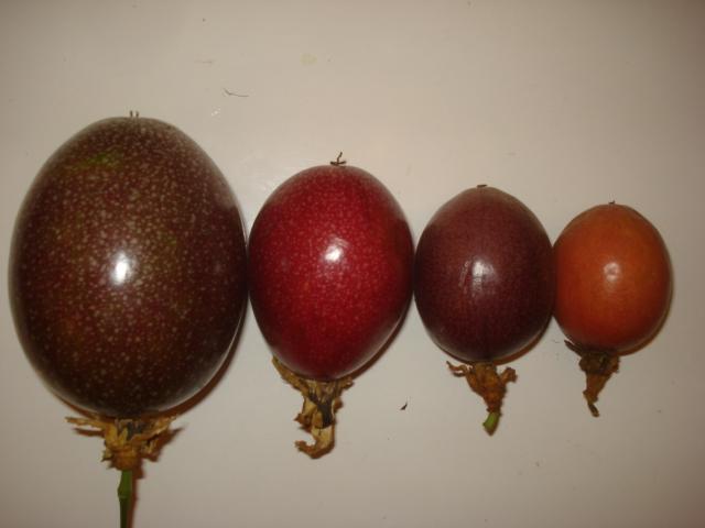 Comment agrandir sa collection de passiflora Rejeto12