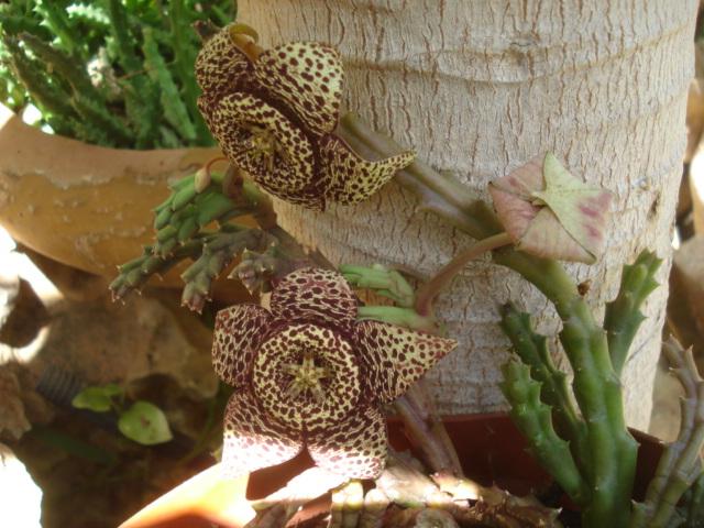 Stapelia grandiflora Stapel10
