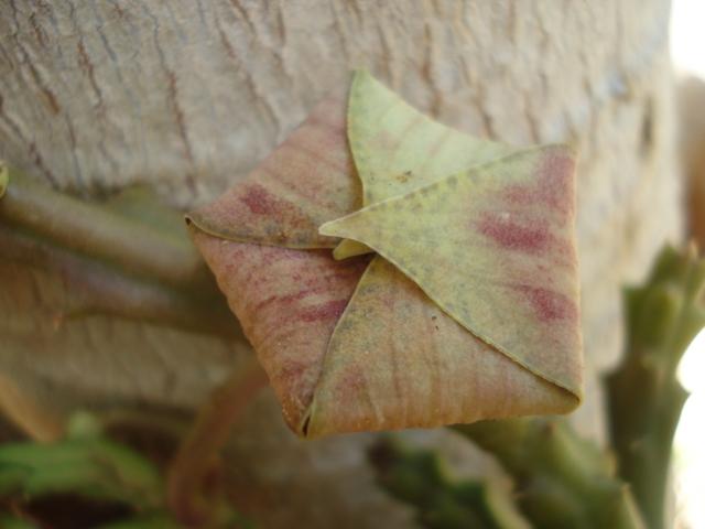 Stapelia grandiflora Stapel12