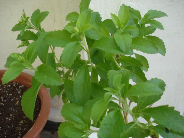 Stevia rebaudiana Stevia10