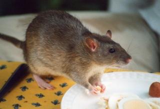 Adopte rat femelle en région parisienne!!!  Rat_ag10