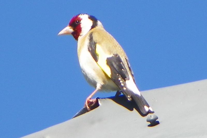 oiseau des Alpes Image_14