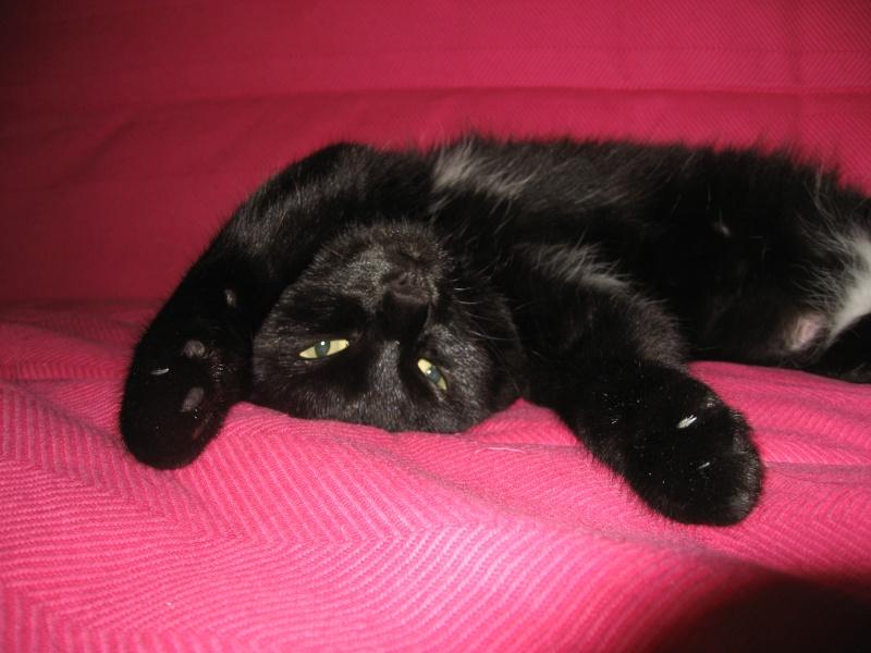 Dora, jolie panthère noire, un an et demi, FA à ROUBAIX Img_1412