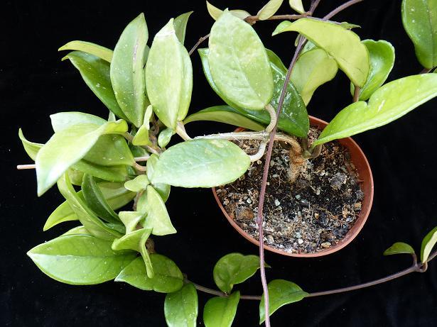 Meine Hoya carnosa P1000610