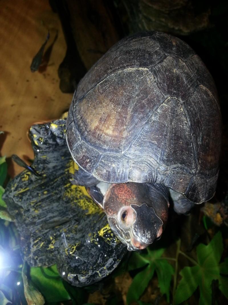 Mes Kinosternidae 20120911