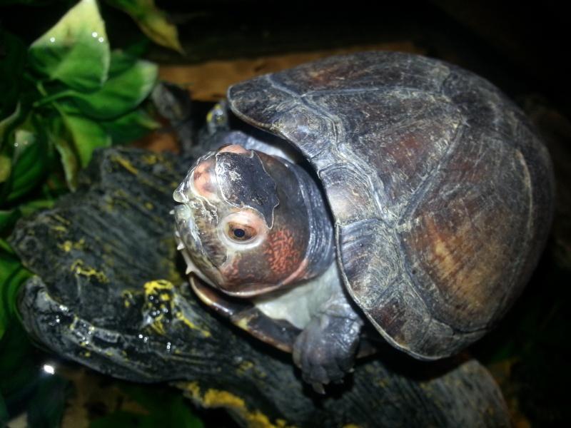 Mes Kinosternidae 20120912