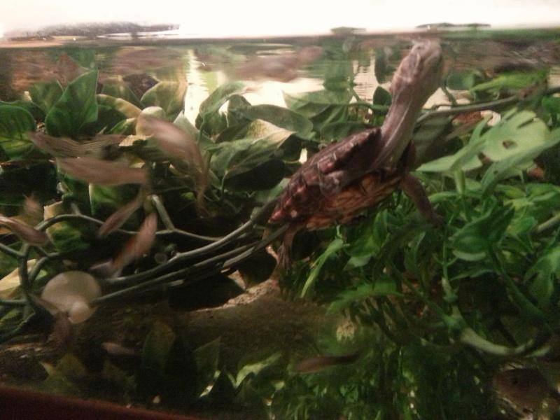 Mes Kinosternidae 20120914
