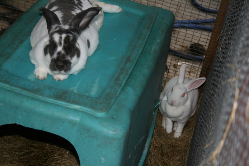 All the Rex rabbits now live together! 00310