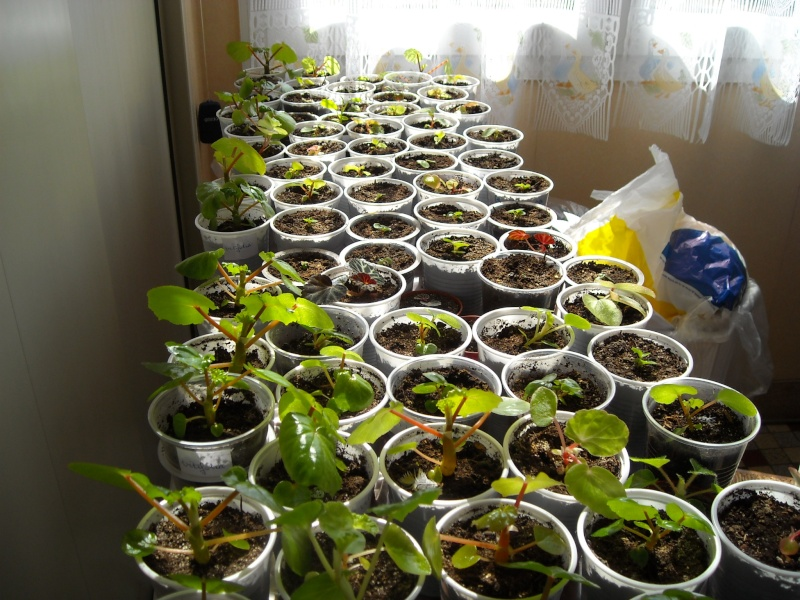 bégonia vitifolia Vitifo10