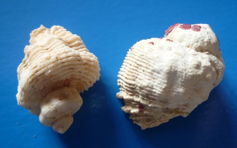 Coralliophila abbreviata - (Lamarck, 1816) voir Coralliophila erosa - (Röding, 1798) Abbrev10