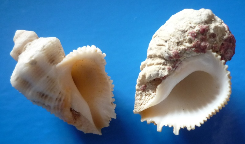 Coralliophila abbreviata - (Lamarck, 1816) voir Coralliophila erosa - (Röding, 1798) Abbrev11
