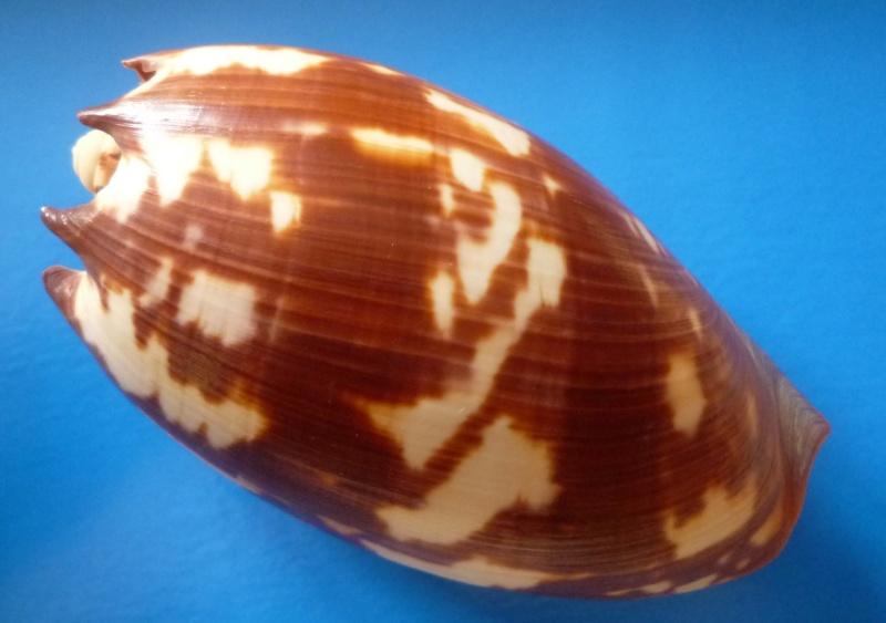 Melo amphora - (Lightfoot, 1786) Amphor13