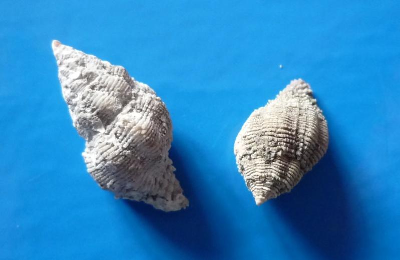 Coralliophila costularis - (Lamarck, 1816) Costul10