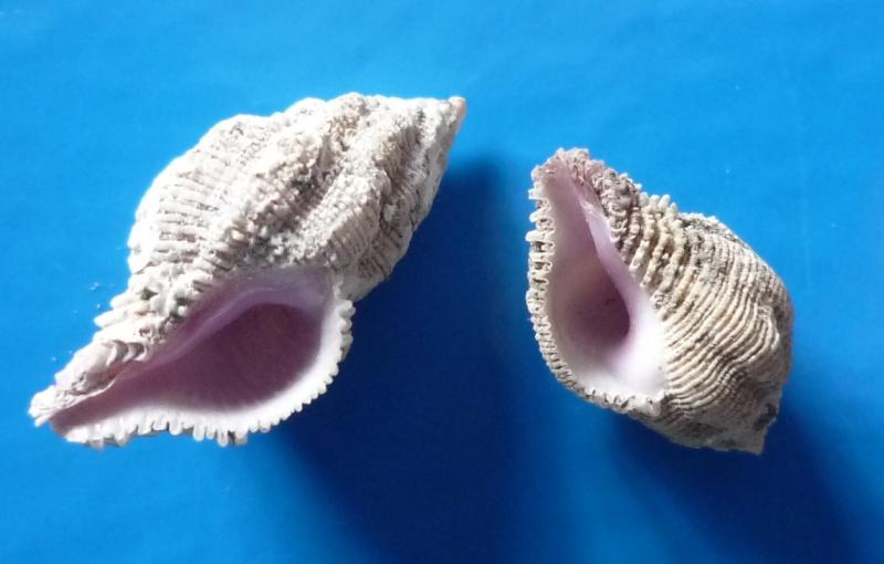 Coralliophila costularis - (Lamarck, 1816) Costul11