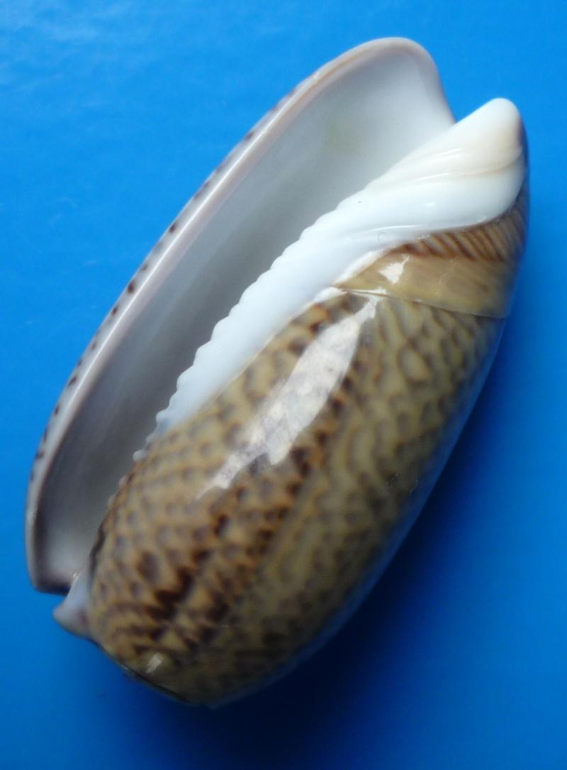 Viduoliva elegans (Lamarck, 1811) Elegan12