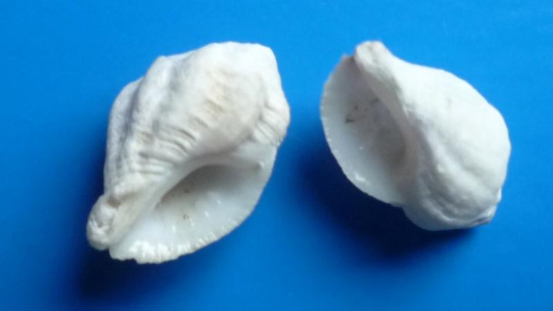 Coralliophila meyendorffii - (Calcara, 1845) Meyend11