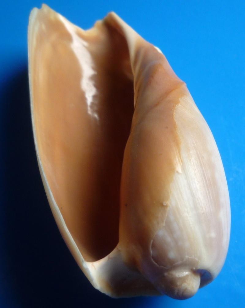 Cymbium cymbium - (Linnaeus, 1758) Patulu16