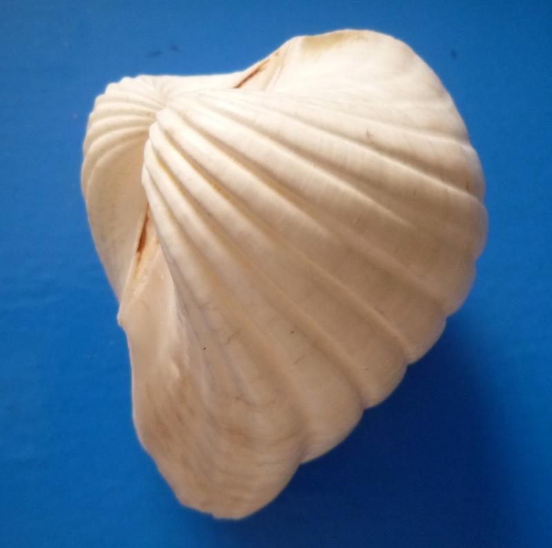 Senilia senilis - (Linnaeus, 1758)  Seneli12