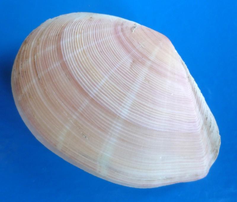 Tellinella virgata - (Linnaeus, 1758) Virgat12