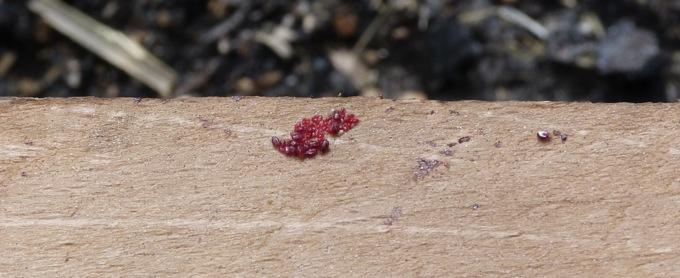 Lutte contre les poux rouges, un piège à poux P1040512