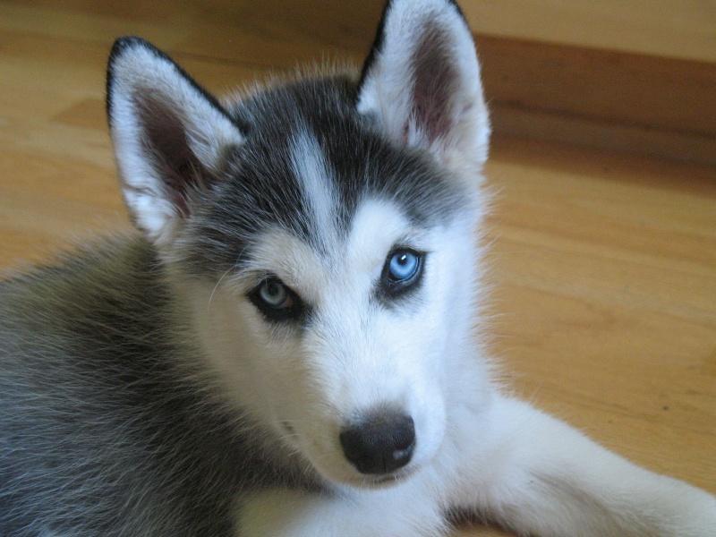 Classic Photos Of Your Huskies Img_7110