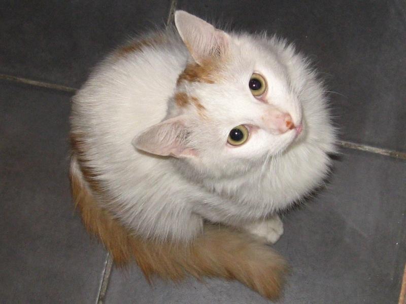 Trouvé place du Cantal à Colomiers chat blanc avec du roux Img_1711
