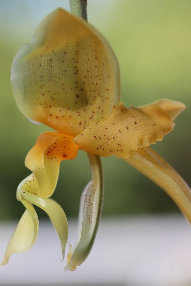 Stanhopea sp. Stan110