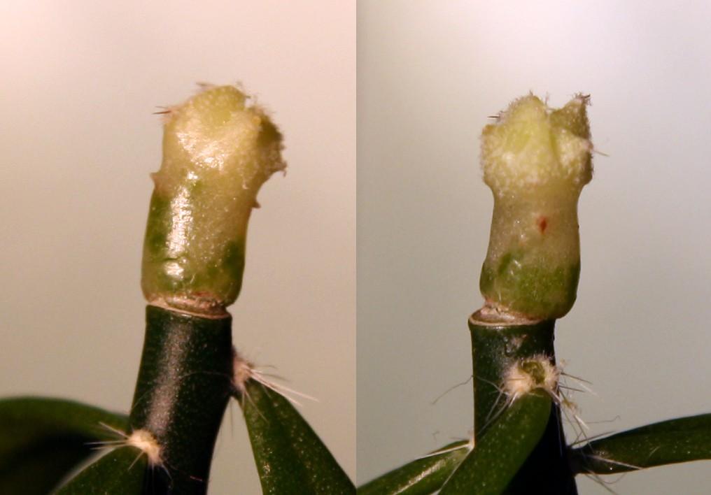 Variegated cactus question Varieg10