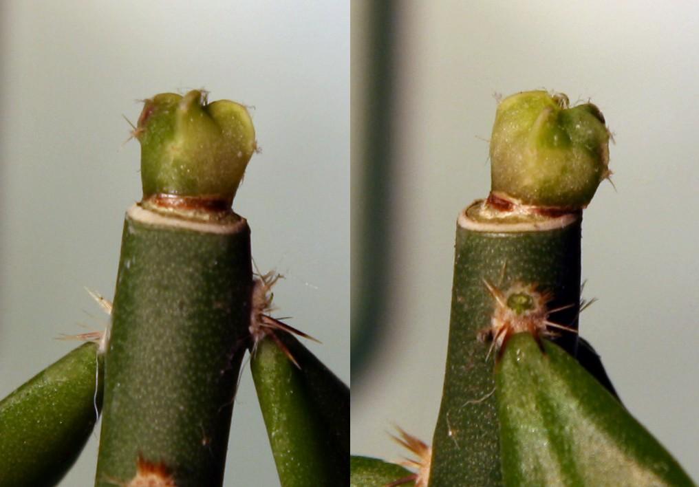 Variegated cactus question Varieg11