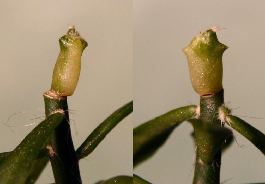 Variegated cactus question Varieg12