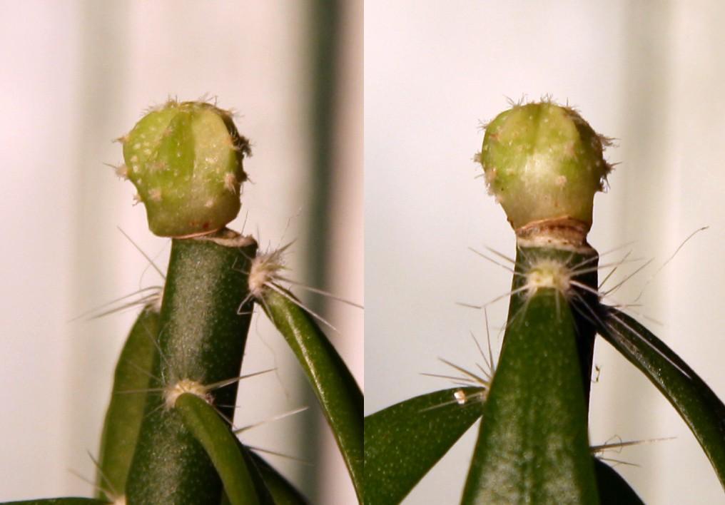 Variegated cactus question Varieg13