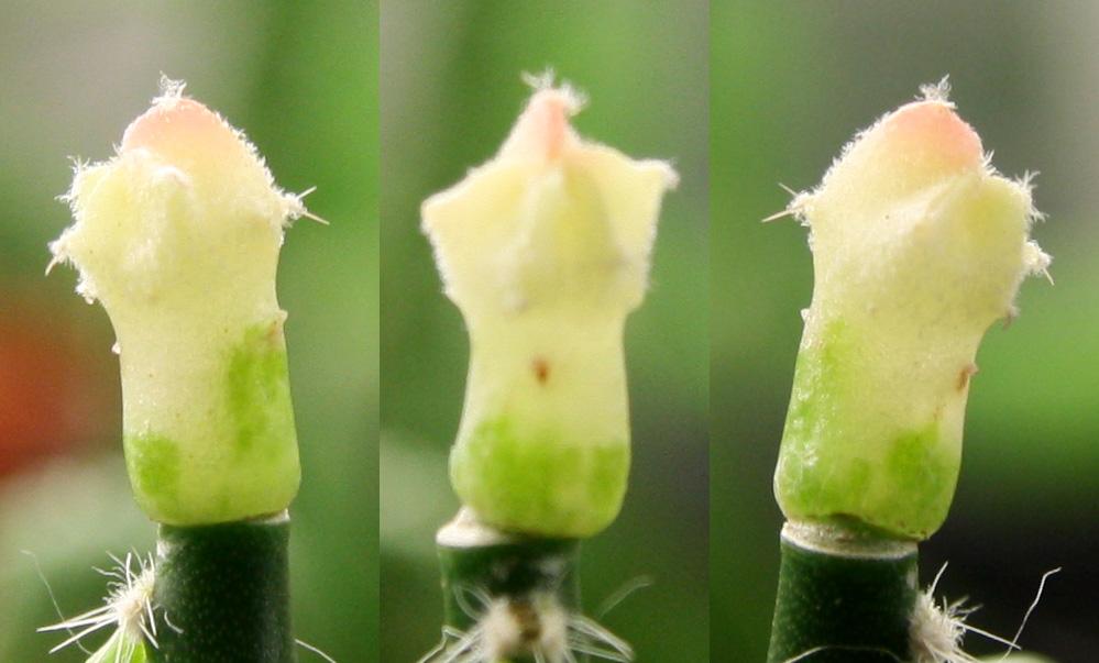Variegated cactus question Variga10