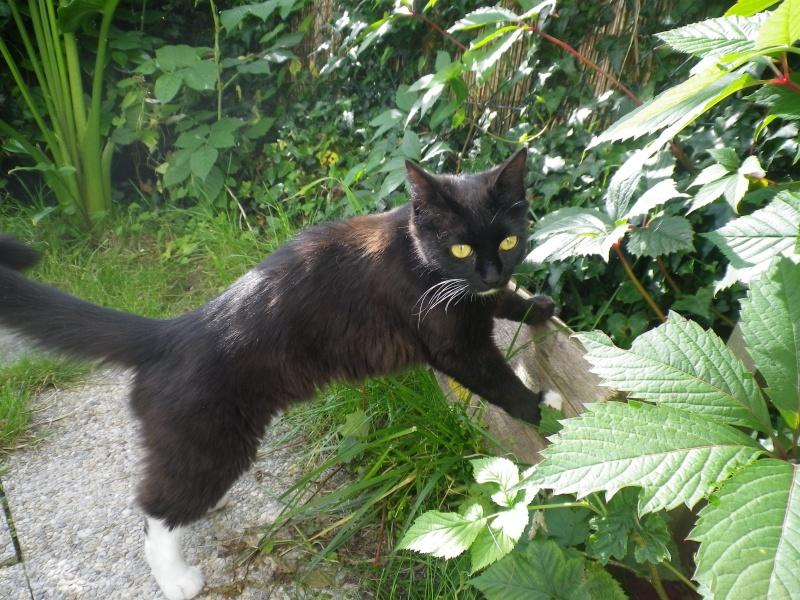 GRATOUILLE, chatte poil mi-long noire et blanche d'un an.  - Page 1 Imgp1910