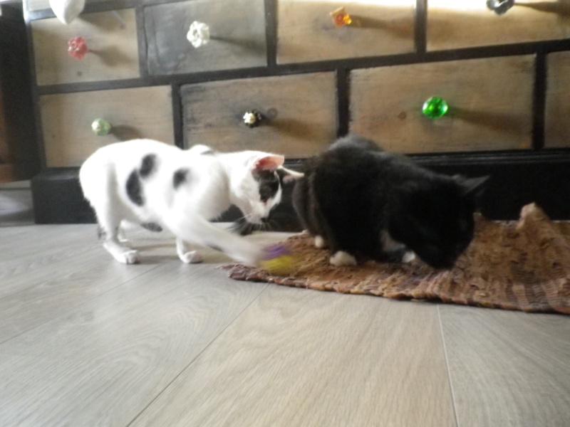GRATOUILLE, chatte poil mi-long noire et blanche d'un an.  - Page 1 Imgp2120