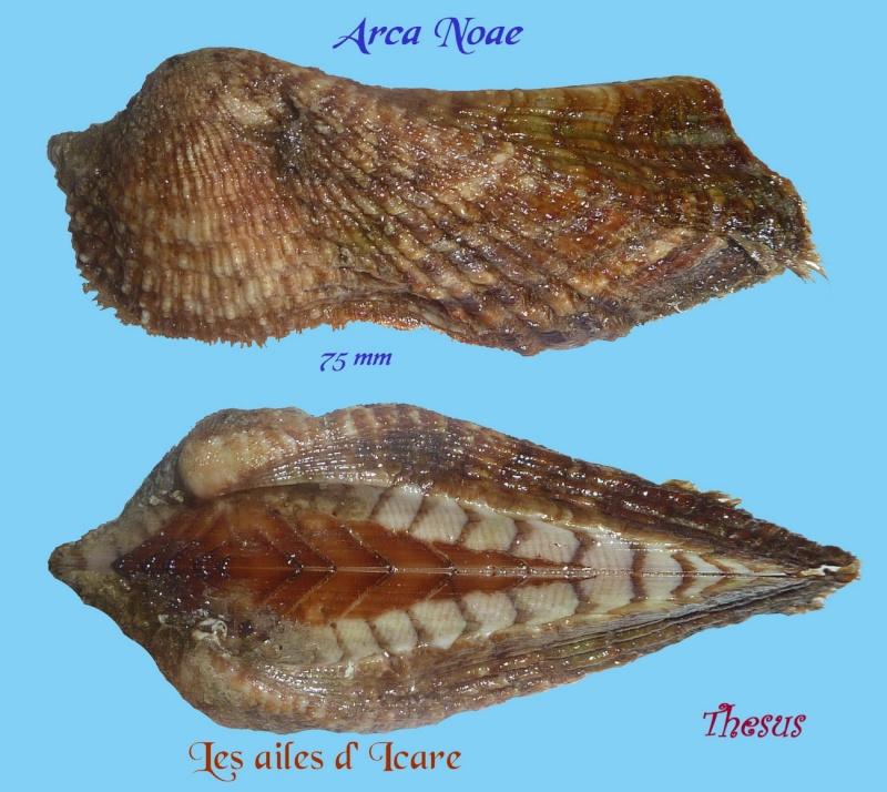 Arca noae - Linnaeus, 1758  Arca_n10