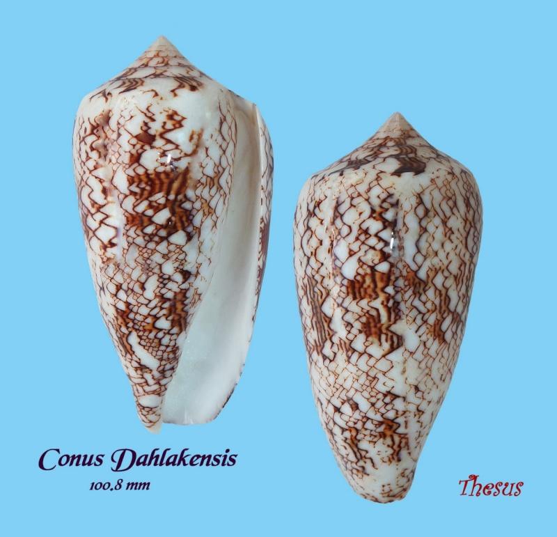Conus (Cylinder) neovicarius   da Motta, 1982 Copie_16