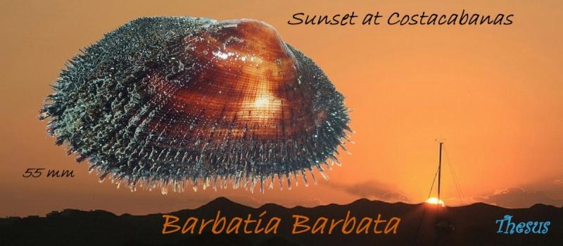 Barbatia barbata - (Linnaeus, 1758)  Sunset10