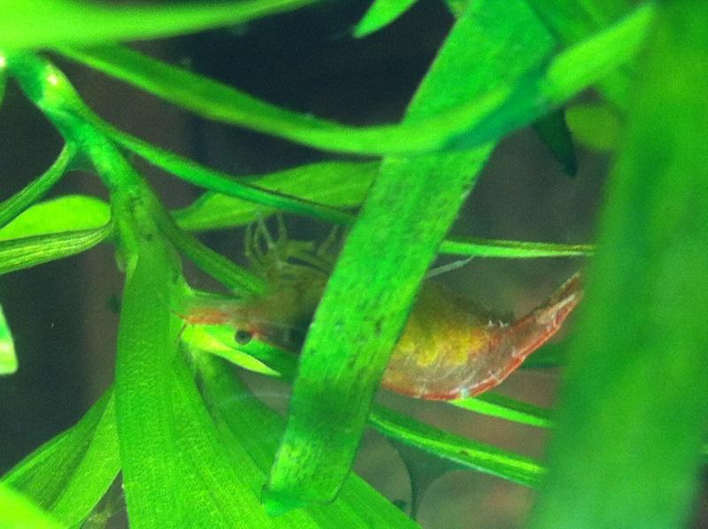 évolution de mon lido 120 et création d'un nano crevettes ! Red_ch10