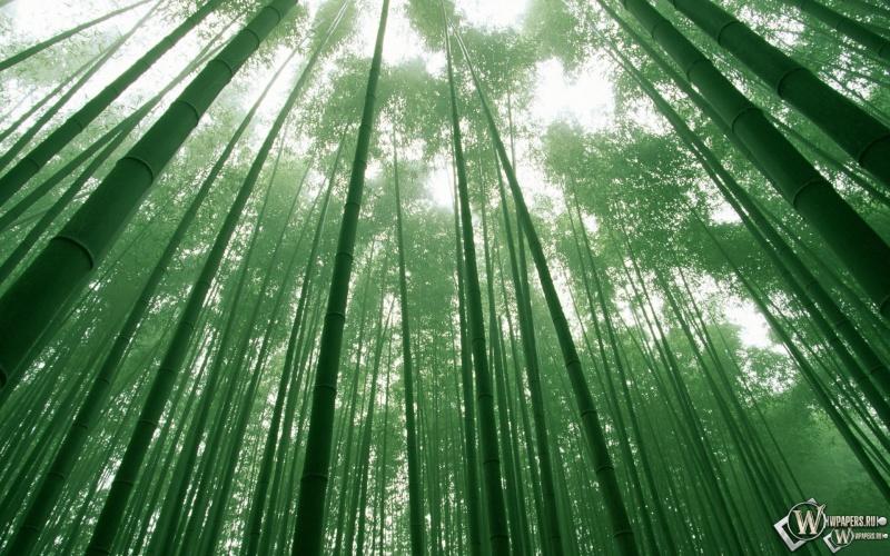 boschetto di bambù 600110