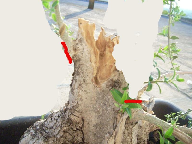 ramo verticale e frontale di olivastro Dsci0011
