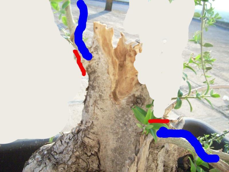 ramo verticale e frontale di olivastro Dsci0012