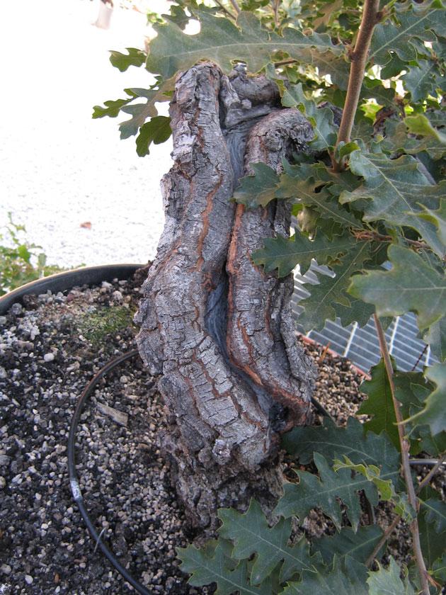 Quercus cerris Img_4316